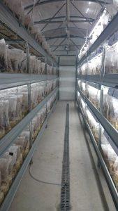 """A makulátlanul tiszta termesztő- berendezés szűrőn át lélegző, zárt vagy sarkain kissé nyitott zsákjai a fejlődő pecsétviasz gomba """"agancsokkal"""" Forrás: Győri Kutatólabor Kft"""