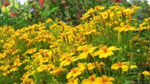 Lemon Marigold, Signet Marigold