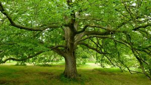 Magnificent Walnut Tree
